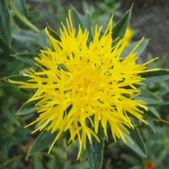 Eine gelbe Distel, auch Saflor genannt.